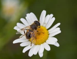honey bee would also enjoy hemp