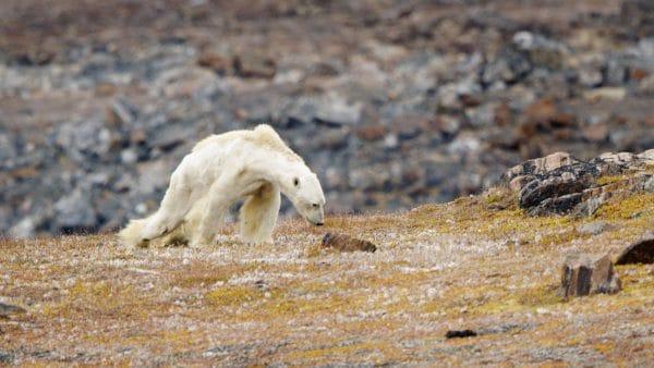 Earth Day: Starving Polar Bear