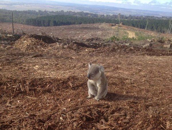Earth Day: Homeless Koala